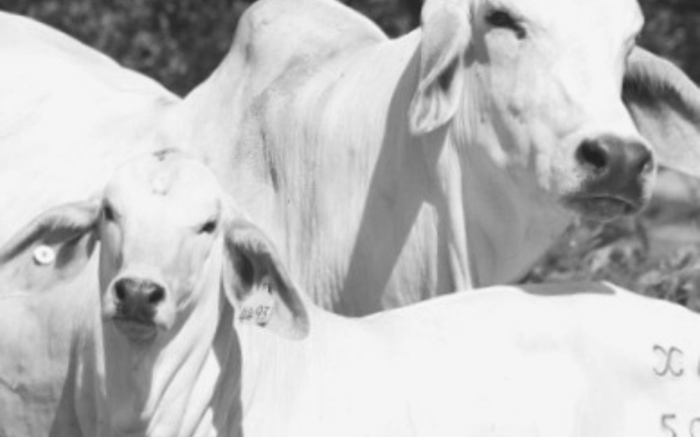 3 Things Graziers Should Know About Grazing Cattle in the Greater